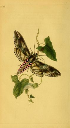 v.7 (1798) - The natural history of British insects : - Biodiversity Heritage Library