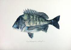 "Acanthopagrus schlegelii (""Kurodai"") | uonofu"