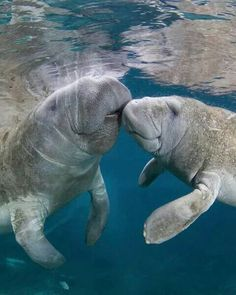 Manatee kisses in the warm waters in Venice, Florida animals silly animals animal mashups animal printables majestic animals animals and pets funny hilarious animal Water Animals, Animals And Pets, Baby Animals, Funny Animals, Amazing Animals, Animals Beautiful, Majestic Animals, Sea Cow, Wale