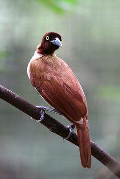 Lesser Bird-of-paradise, female | Flickr - @ eddy lee / kampang