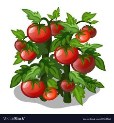 Growth Ripening Tomato Plants Isolated On Stock Vector (Royalty Free) 398413570 Free Vector Images, Vector Free, Paisley Art, Tomato Plants, Fruit Art, Food Illustrations, Cardmaking, Art For Kids, Royalty Free Stock Photos