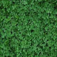 Miniclover (Trifolium repens) is a perennial clover only growing to approximately 4 inches tall making it ideal for a lawn alternative or to mix with your current lawn grass. It also works great as a