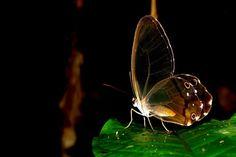 Algumas borboletas, como essa do gênero Haetera, perderam as escamas das asas. Ser transparente significa estar camuflada em qualquer tipo de ambiente - Foto: Fábio Paschoal