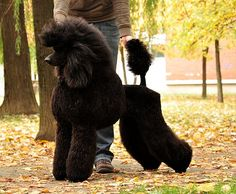 show poodles - Google Search