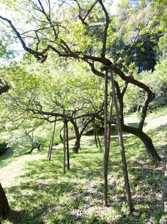 Tall supports hold up the limbs of plum trees in the Kairaku-en—偕楽園—an Edo Era garden located in Mito City, Ibaraki Prefecture, northeast of Tokyo. Tree Support, Japanese Cherry Tree, Tourist Info, Beautiful Ruins, Plum Tree, Old Trees, Growing Roses, Japan Travel, Landscape Architecture