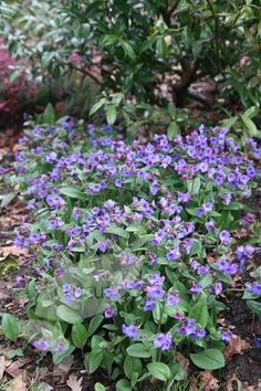 Pulmonaria 'Blue Ensign' lungwort. Shade to part shade, green all year and flowers in spring, generally pest free