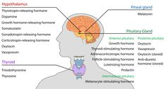 What is the difference between Hormones and Neurotransmitters? Hormones belong to the endocrine system. Neurotransmitters belong to the nervous system. Anterior Pituitary, Pituitary Gland, Pineal Gland, Growth Hormone, Endocrine System, Vitamins, School, Thoughts, Metabolism
