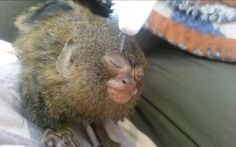 Rescued Pygmy Marmoset Gets a Toothbrush Massage (VIDEO)