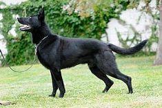 Image result for Pure Black German Shepherd