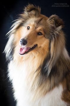 Rough Collie, what a beauty!