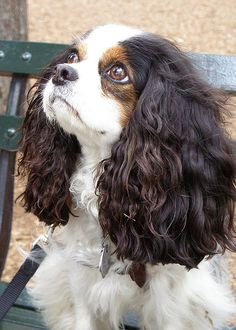 Cavaliers are the best!
