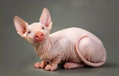 """Hybrid Animals"" – Hairless Pit These Animals Got Manipulated On Photoshop, And It's Totally Hilarious • Page 5 of 5 • BoredBug"