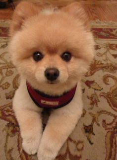 """Told my dad I was gonna spend $1500 on a pomeranian and he whispered under his breath """"but I want a baby!"""" Lmao"""