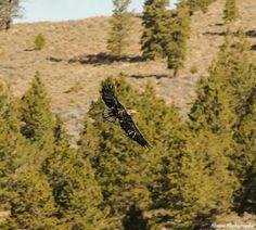 Golden eagle Panguitch Lake Utah .. Nisson Photography .. Find us on Facebook!