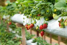 Permaculture: Strawberries contain plenty of vitamins and minerals when eaten directly from the plant. Learn how to grow strawberries effectively. Strawberry Plants, Strawberry Fields, Gardening For Beginners, Gardening Tips, Organic Gardening, Growing Rhubarb, Permaculture Design Course, Green Fruit, Wild Strawberries