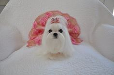 now that is a Maltese Princess!