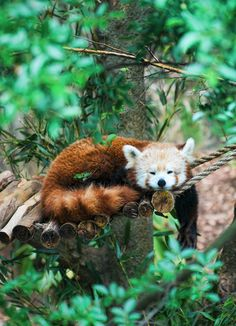 """""""Slightly bigger than a domestic cat, it looks like a cross between a fox and a racoon, with a thick, lush tail that it wraps around itself to keep snug in these chilly mountain climes. Although more widespread than the giant panda, red pandas are even less visible as they spend most of their lives high up in the trees."""" www.bradtguides.com"""