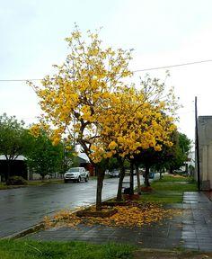 Green day  ! Árbol. Yellow flowers.  City.  Raining.