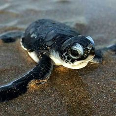 20 of the beautiful baby sea turtles . - 20 of the beautiful baby sea turtles you will love . # Baby sea turtle the - Baby Animals Super Cute, Cute Little Animals, Cute Funny Animals, Cute Dogs, Baby Animals Pictures, Cute Animal Pictures, Cute Baby Turtles, Turtle Baby, Sea Turtle Pictures