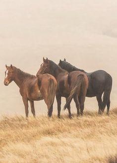 Kaimanawa horses (kd animal photography)