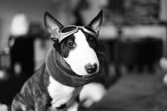 #bullterrier. Just call me Biggles. Oh, and salute me.