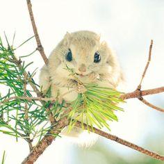 L'écureuil volant de Sibérie pourrait bien être ce qui se fait de plus mignon sur Terre | Buzzly