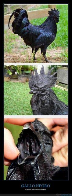 No dice kikirikí, se marca un gutural profundo - El animal más metal que existe