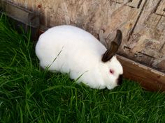 Cali the Californian and all our our other rabbits enjoyed the weather we had this weekend. All the rabbits were out in their runs from 7:30-4:30 for 2 days straight so they got plenty of exercise and ate a lot of grass.