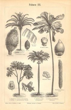Cuban Royal Palm (no 3) - Cuba's national tree - maybe useful as metaphor in the design