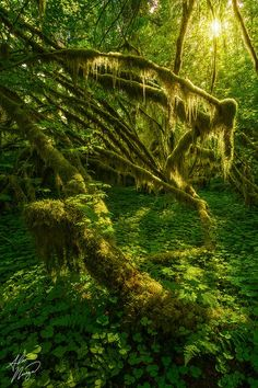 "500px / Photo ""Life Grove"" by Alex Noriega; Hoh Rainforest, Olympic National Park, Washington"