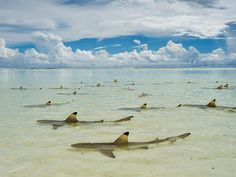 I believe that these are blacktip reef sharks.