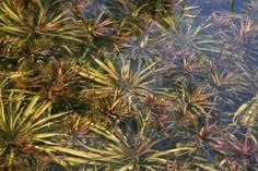Wie Ihr mit Unterwasserpflanzen Algen im Teich reduziert https://freudengarten.de/show/98 #Gartenteich, #Algen, #Teich, #Wasserpflanzen, #Unterwasserpflanzen