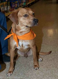 He is a neutered male, tan, possible beagle/hound mix from New Mexico. 2 years old and approximately 40 lbs.  He was found on the streets of New Mexico and his military family, who can only keep 3 dogs, which they already have, drove him to Albany...