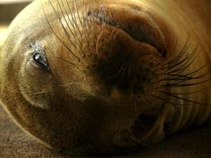 Sea Lion: Galapagos Islands Sea Lions, Galapagos Islands, Swimming, Animals, Swim, Animales, Animaux, Animal, Animais