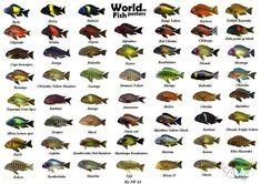 Tropheus Arten | Mall Aquarium-Fisch-
