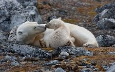 A polar bear and cub - taken from an exhibiton of pictures from the Poles by Sue Flood