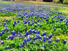 Blue Bonnets along the road. Gruene, Texas.