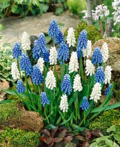 Grape Hyacinth (Muscari)  smell delicious and reproduce like crazy!  They will fill in a space in just a few years