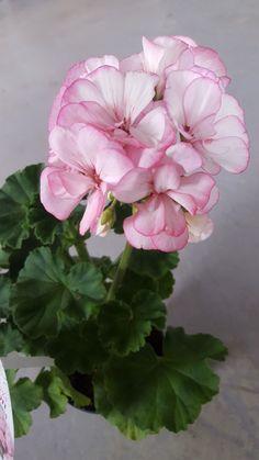 Picotee pink, årets pelargon 2018. Pelargonium x hortorum.