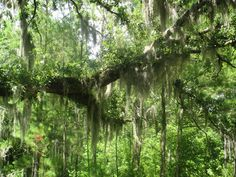 Spanish moss in Pender County, North Carolina. It's been used as bedding, stuffing, upholstery, mulch, insulation, and arts and crafts; it's even been used as an ingredient in making voodoo dolls. Wildlife loves to nibble on this moss, but some people claim it's edible.