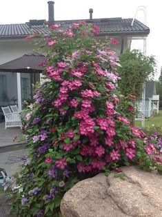 Useasta kärhölajikkeesta koostuva kukkatorni on loppukesällä todella vaikuttava näky ja pihan keskipiste. Clematis, Dream Garden, Garden Plants, Garden Landscaping, Perennials, Terrace, Landscape, Green, Nature