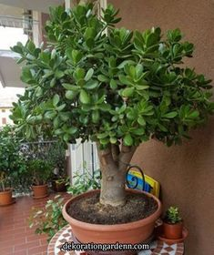 Excellent Gardening Ideas On Your Utilized Espresso Grounds Adult Jade Plant Tree, Crassula Ovata Jade Succulent, Succulent Gardening, Cacti And Succulents, Planting Succulents, Allotment Gardening, Jade Plant Bonsai, Jade Plants, Bonsai Plants, Bonsai Trees