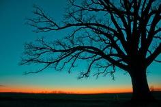 'The Big Tree' ~ Columbia, MO