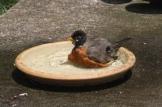 Baby Robin playing in water