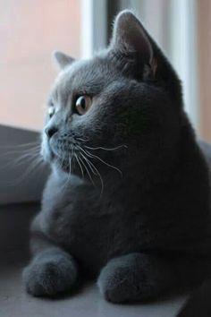 I love grey cats!