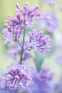 lilac by kim1971. @go4fotos