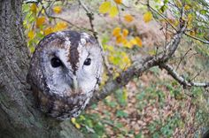 A roosting tawny owl in an English wood. Pinned by www.myowlbarn.com