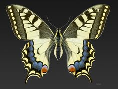 Female Old World swallowtail butterfly (Papilio machaon) Lot France by Didier Descouens [6244  4734 ]