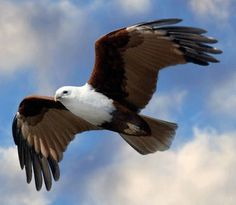 Brahminy Kite. Well aren't you gorgeous!