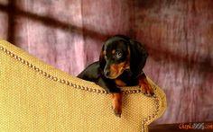 Pequeno intrometida foto do cão